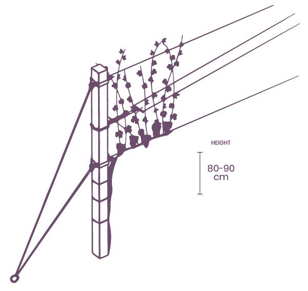 Guyot vine training system